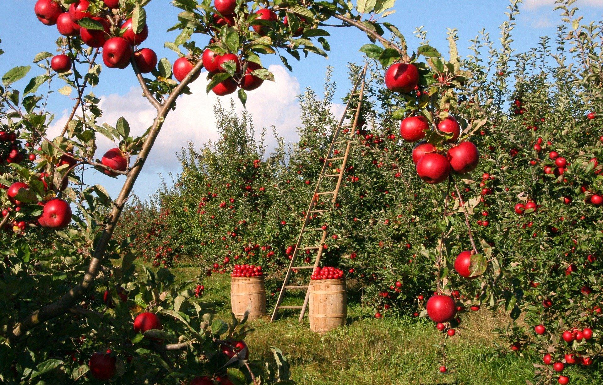 Pommes usufruit